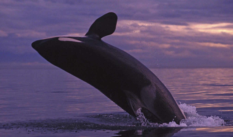 wallpapers, whale, orca, san, juan, breaching, island,