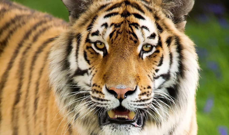 тигр, морда, просмотреть, полоски, хищник,