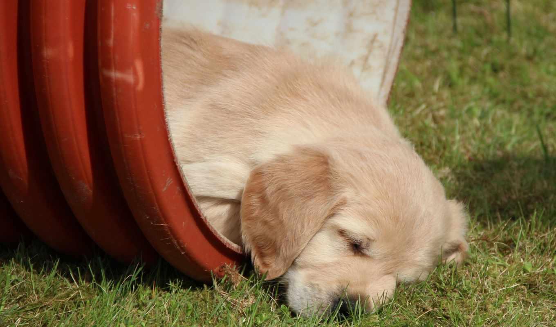 retriever, золотистый, собака, картинка, спать, pet, рисунки, без,