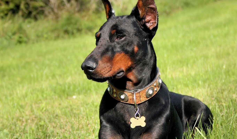 доберман, собак, породы, порода, собака, щенка, собаки, германии, пинчер, но,