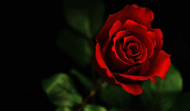 роза, красная,