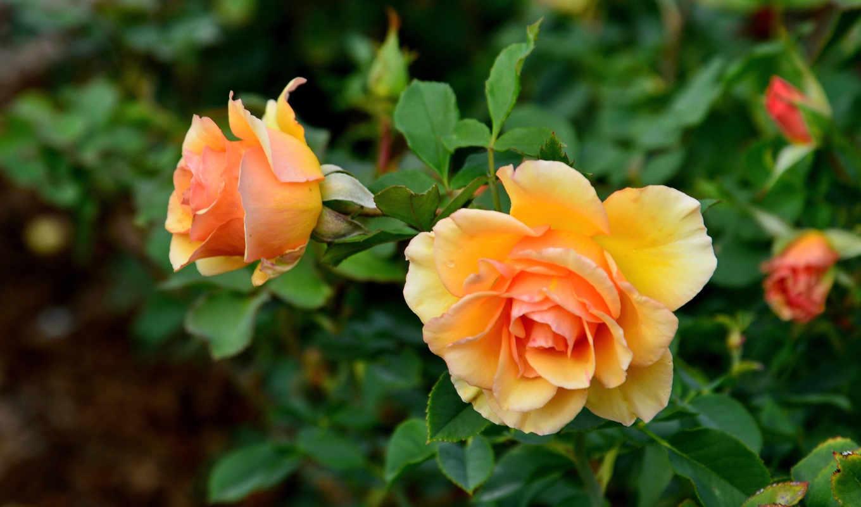 цветы, красивые, цветочная, разных, красавица, розами,