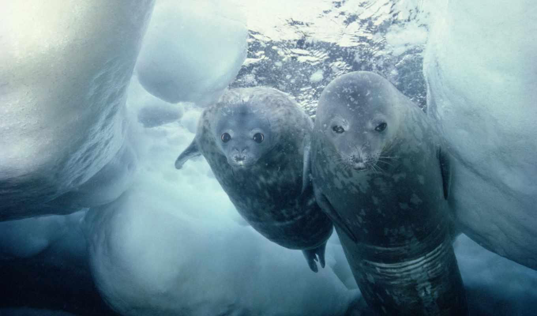 seals, тюлень, weddell, арфа, are, diving, антарктида, лед,