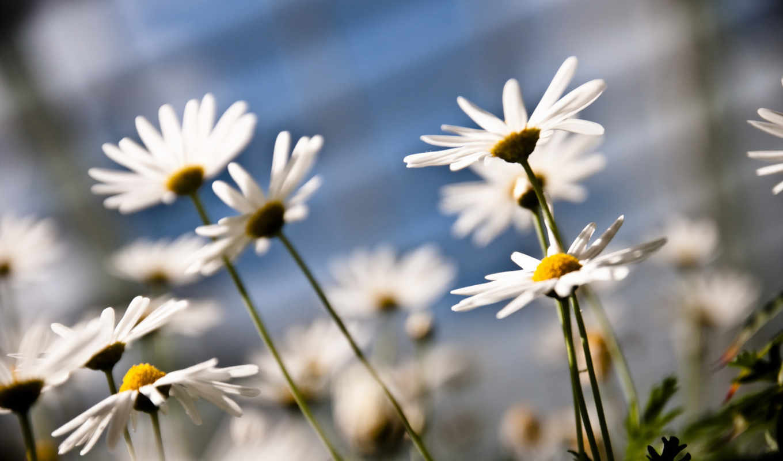 daisies, flowers, nature, flower, лето,ромашки,
