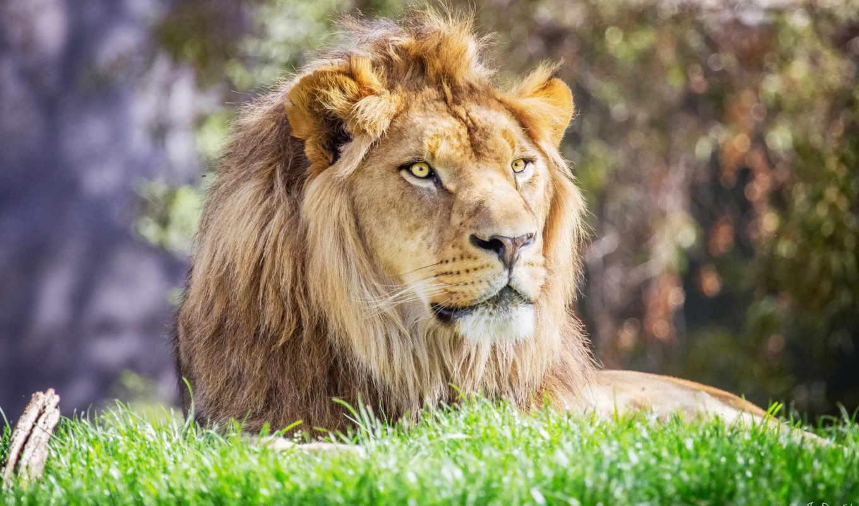lion, грива, морда, хищник, sr,