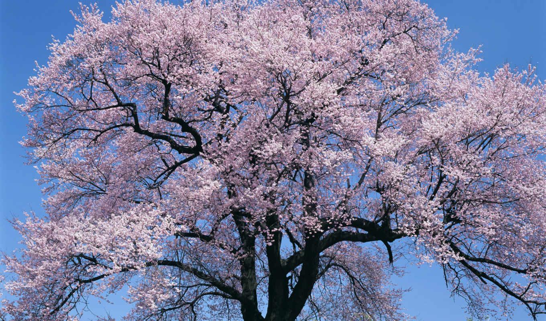 Сакура, tree, сакуры, весна, jochi, деревьев, цветы, favorites, japan, яп, anime, cherry, природа, цветущее, premium, широкоформатных, деревья, ºå, blossom, са, подборка, сакурой,