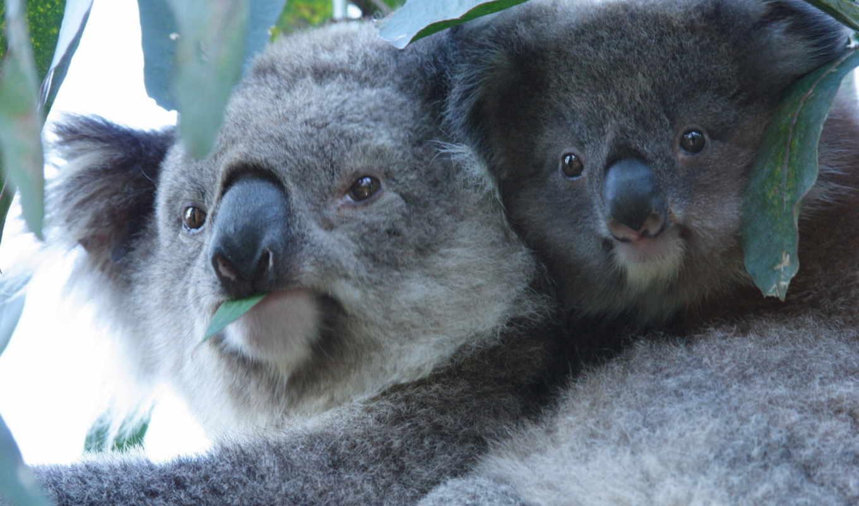 милые, phillip, остров, penguins, мама, little, пара, семья,