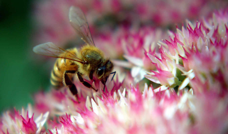 пчела, нектар, цветок, розовый, макро, животные, собирает, пыльца, картинка, природа, пчелы,