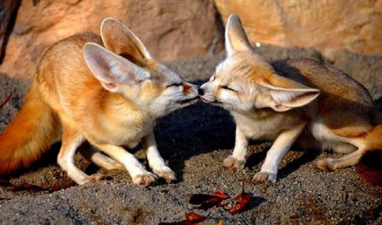 fox, fennec, нравится,