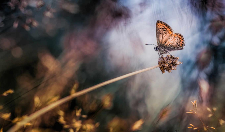 макро, растение, бабочка, крылья, дек,