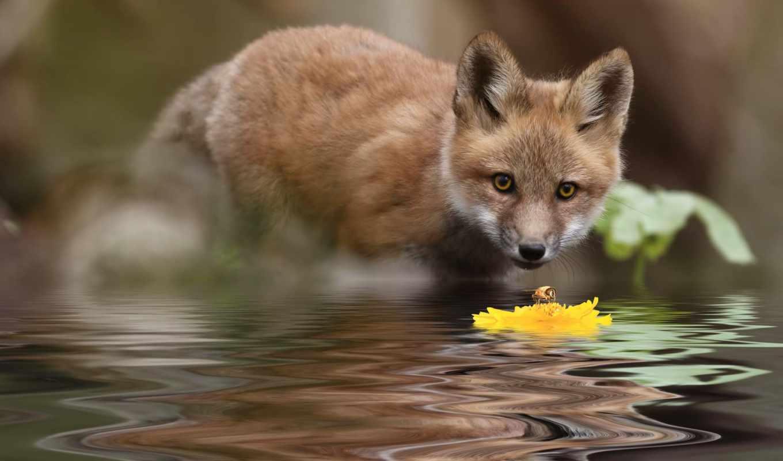 лиза, voda, лисенок, цветок, cvety, priroda,