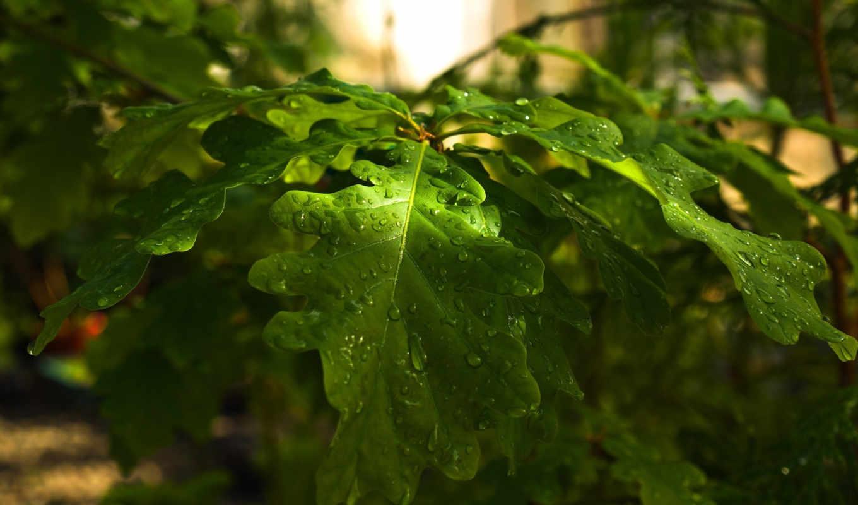 oak, листья, природа, капли, дерево, ветка, лес, день, green,