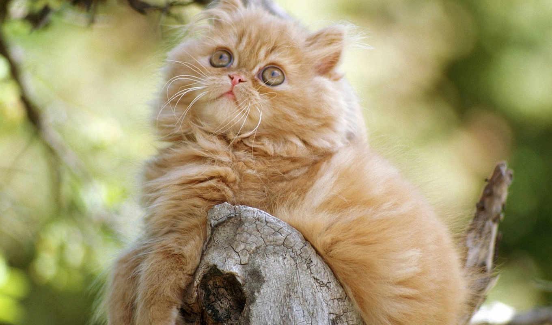котенок, orange, persian, зодумчивый, you, задумчивый, persa, cat, картинка, персидская, картинку,