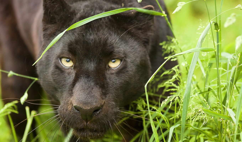 panther, black, яndex, природа, zhivotnye, animal, кустов, коллекциях,
