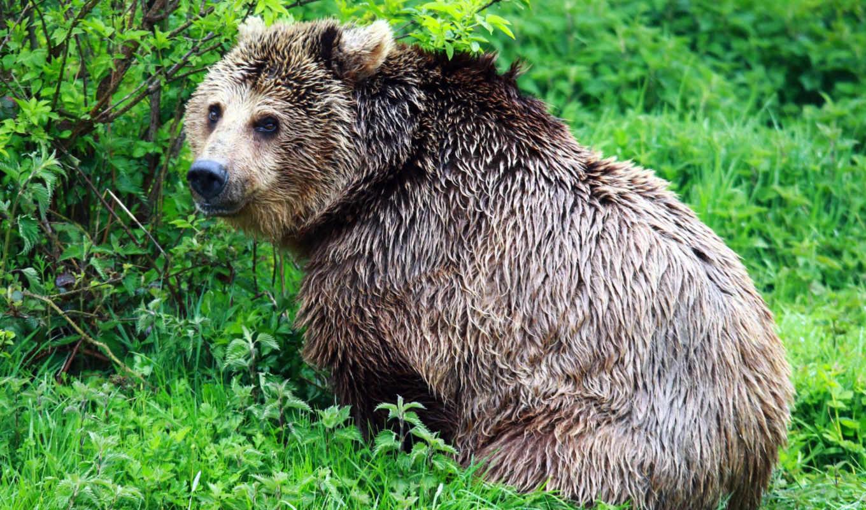 бурый,медведь,лес
