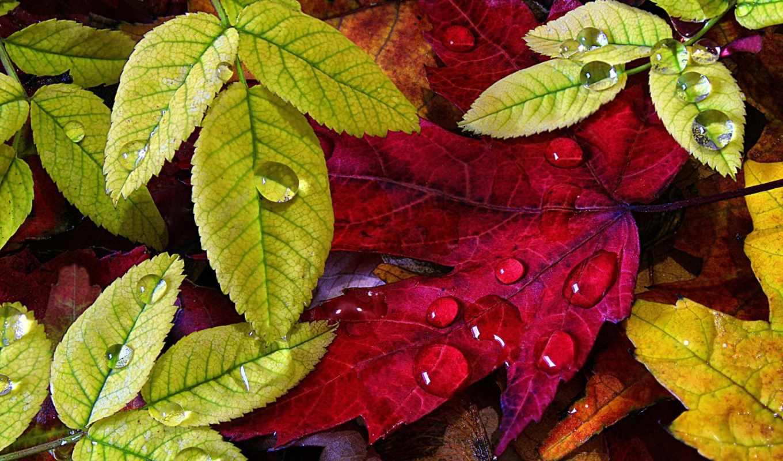 лист, капли, фона, осень, листва, зеленые, роса, осенние, favourite, тотализатор,