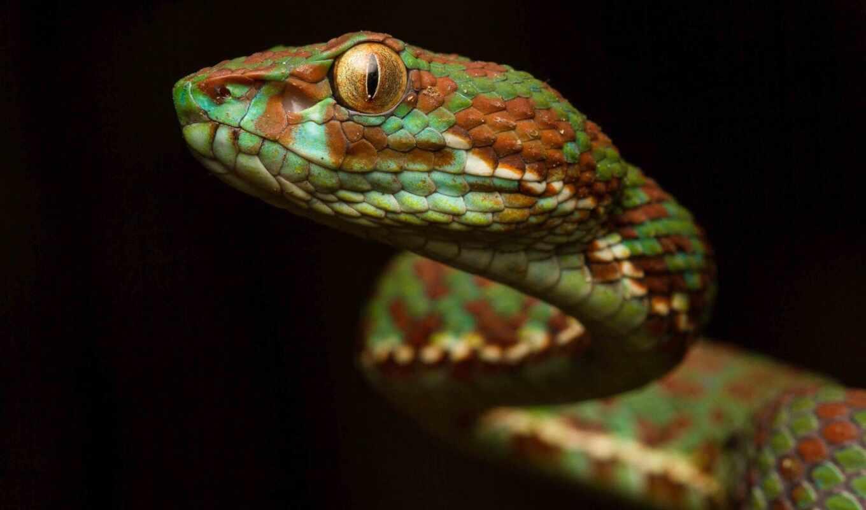snake, viper, print, шкала, взгляд, animal