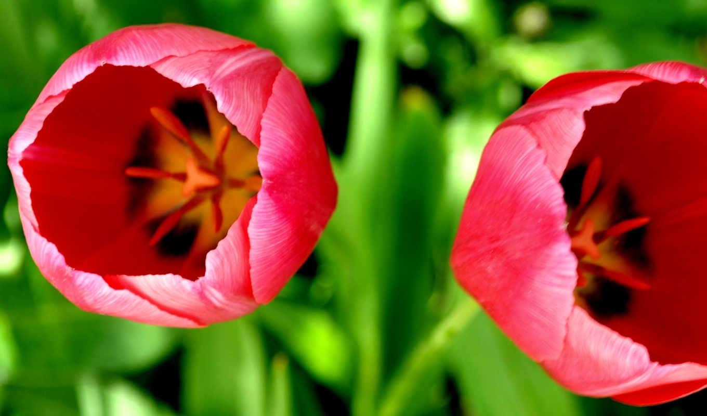 цветы, макро, природа, flowers, картинка, тюльпаны, картинку,
