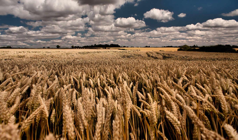 поле, пшеница, небо, облака, лето,