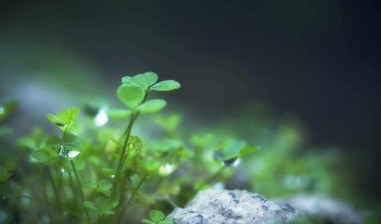 clover, листья, листочки, макро, зелёный, растение,