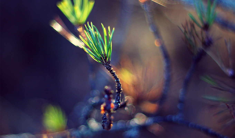 зелёный, веточка, хвоя, росток, изображение, макро,