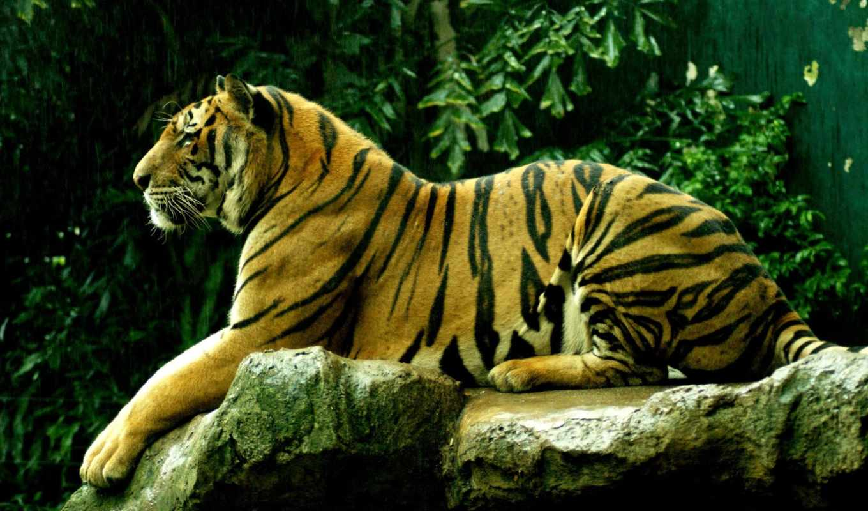 живые, тигр, zhivotnye, full, мышкой, картинке, кликните, превьюшке,