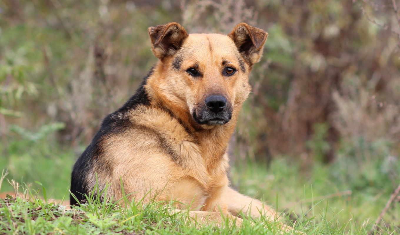 собака, друг, взгляд, картинка, картинку, кнопкой, мыши, dogs, shepherd, german,