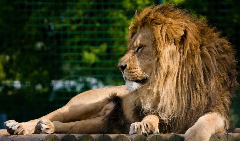 ,лев, грива, лапы, хищник,