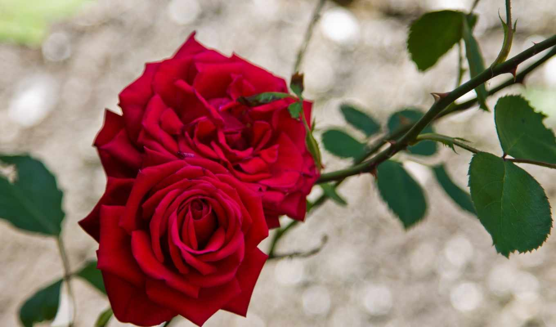 цветы, розы, ветки, red, jpeg, букеты, мб,