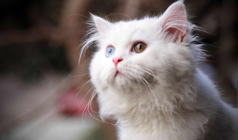 кот, white, кошки, глазами, дек, коты,