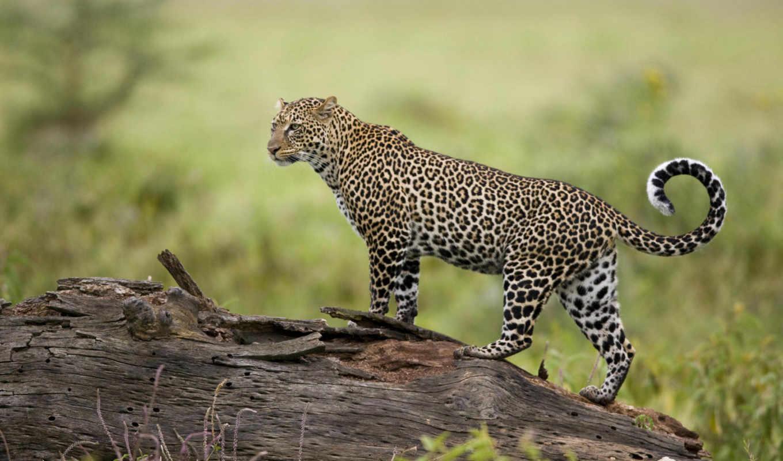 кошки, леопард, zhivotnye, дикие, кошка, хищник,