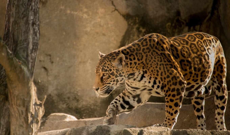 jaguar, кот, хищник, zhivotnye, нравится, кошки, дикая,
