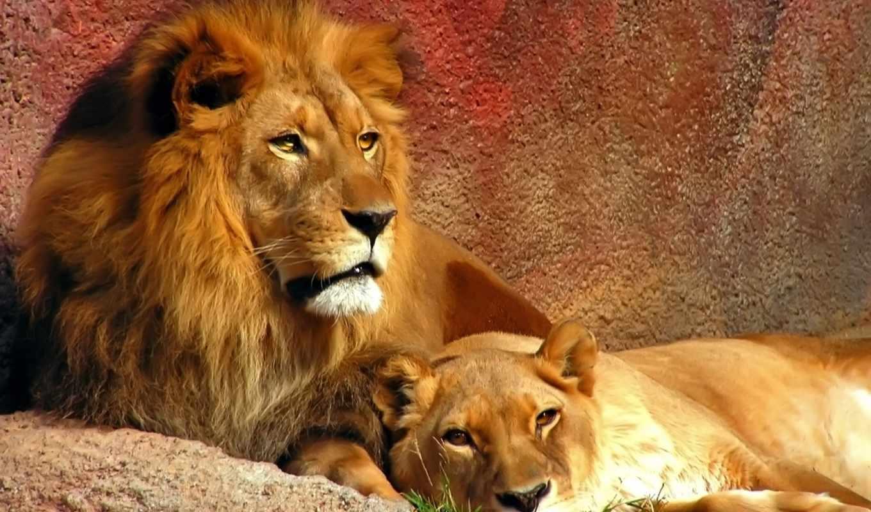 lion, львица, zhivotnye, льва,