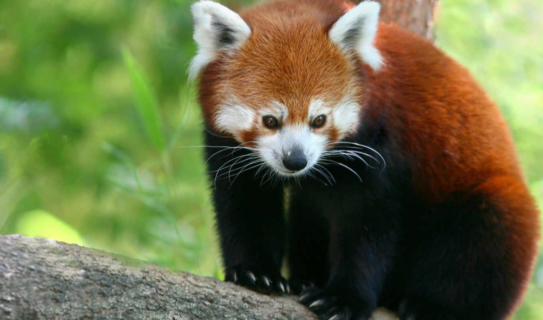 панда, панды, красная, zhivotnye,