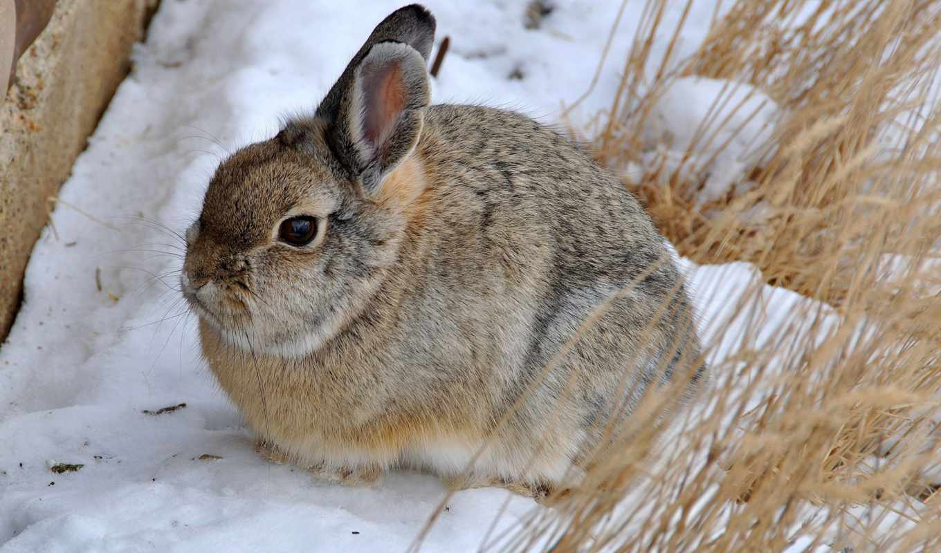 cottontail, гора,