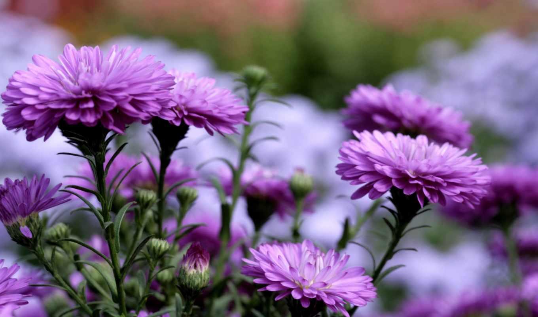 хризантемы, güzel, нотки, цветы, сиреневые, весна,