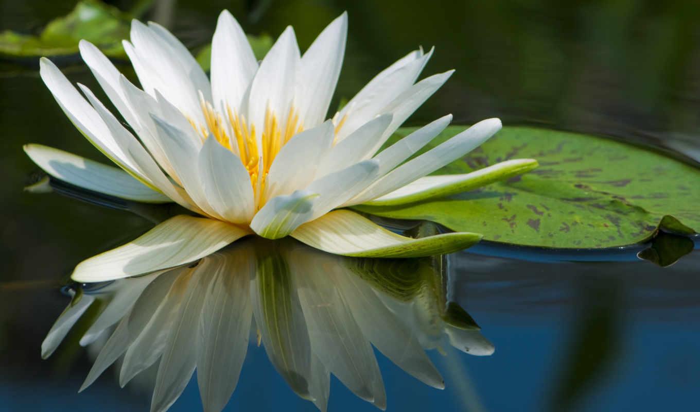 lotus, white,