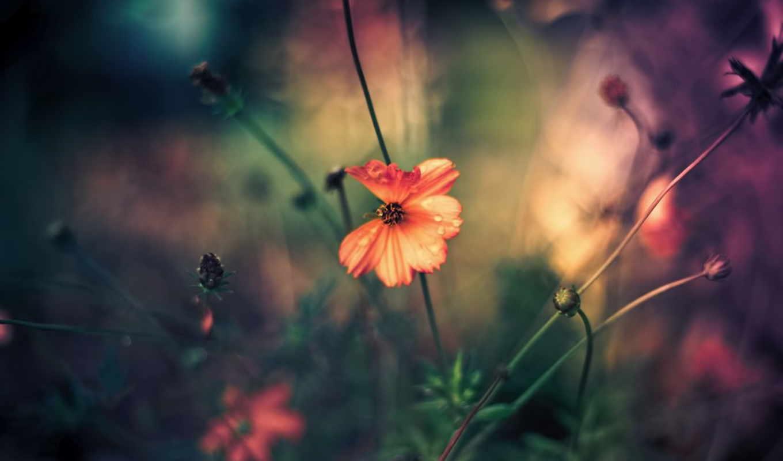 priroda, взгляд, цветок, полевой