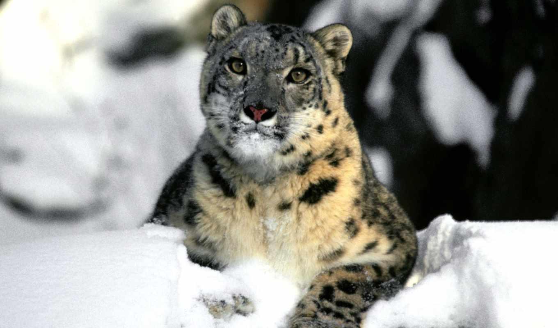 леопард, снег, uncia, ирбис, panthera,