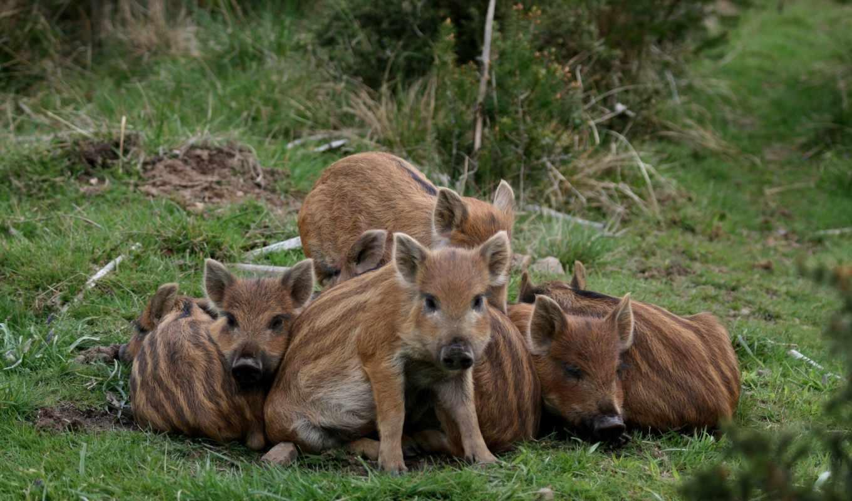 поросята, животные, хищник, свинья, природа,
