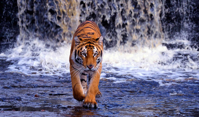 тигр, водопад, бенгальский, хищник, вода, картинку, картинка, кнопкой, мыши,
