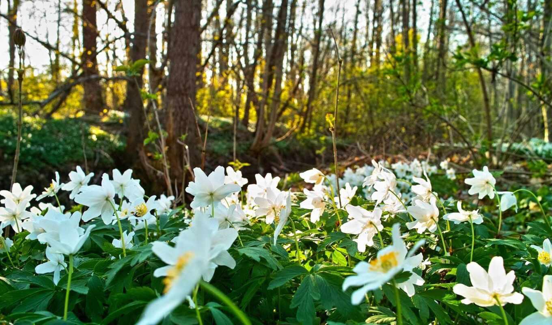 поляна, весна, цветами, весенние, белыми,