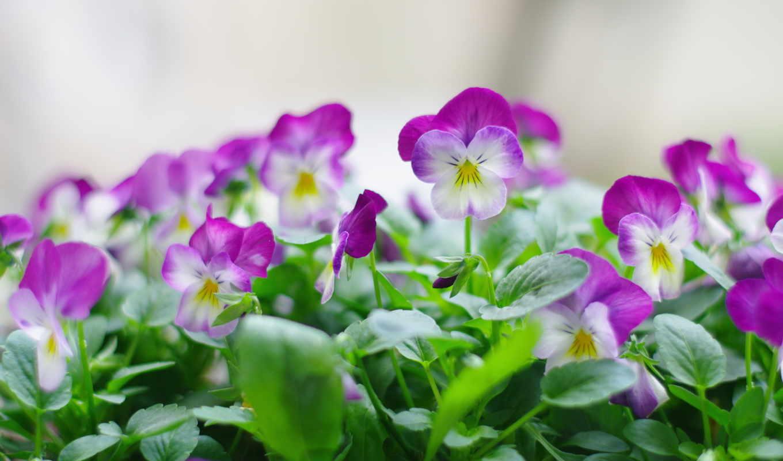 цветы, природа, анютины, глазки, весна, растительность, зелёный, макро,