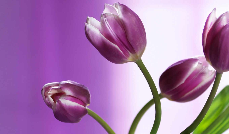 тюльпаны, красивые,