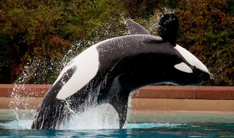 orca, download, background, desktop,
