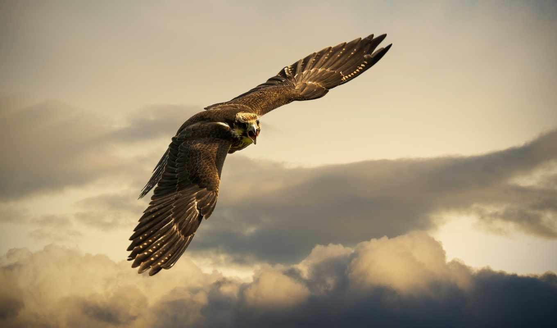 птица, сокол, небо, комментарии, метки, polet, тучи, zhivotnye, оставить, орел,