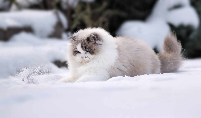 winter, снег, кот, пушистый, питомец, рэгдолл, shirokoformatnyi, stoloboi, drawing, animal