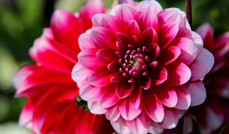 цветы, макро, цветов, боке, роза, юбилеем, июл, красивые, макросъемка,