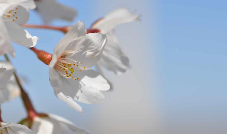 , цветы, цветение, весна,