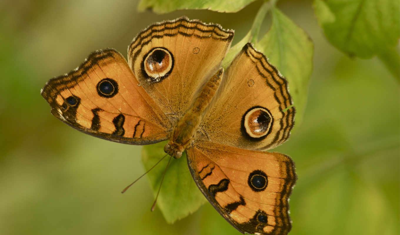 бабочка, макро, цветы, free, leaf, desktop,